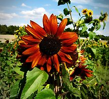 orange sunflower by NafetsNuarb