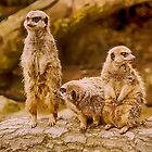 Meercat Watch by Paul  jenkinson