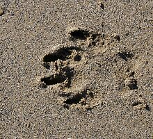 Dog pawprint in sand on beach, Salcombe, Devon, United Kingdom by silverportpics