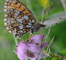 Small Pearl-bordered Fritillary by cuilcreations