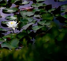 Pond Lilly by Charles Plant