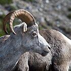 Stone Sheep by Caren della Cioppa