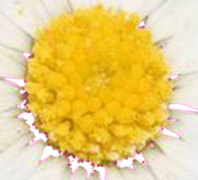 Top View of a White Daisy Isolated on Black Sticker
