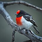 Red-capped robin by Jennie  Stock