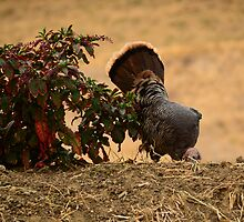 Turkey in the Wild by HanieBCreations