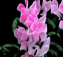 Pink Cyclamen by lynn carter