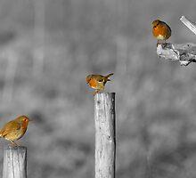 Three European Robins by SteveHphotos