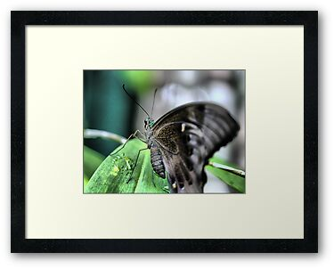 Butterfly at Santosa  (1)..normal. by Larry Lingard-Davis