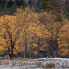 Black Oaks by Floyd Hopper