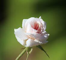 Pink Fragrance by Bob Hardy