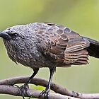 Apostle Bird by Robert Elliott