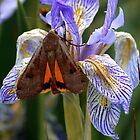 Iris With A Bonus by Arla M. Ruggles
