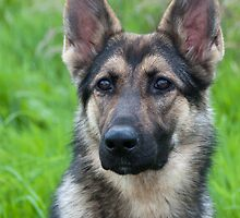 German Shepherd Puppy by elainejhillson