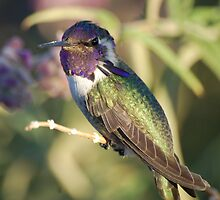 Costa hummingbird by loiteke