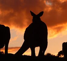 Kangaroo Sunset by Kortney Thoma