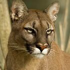 Puma Stare by Val Saxby