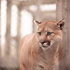 The Cougar by Nicolas Goulet