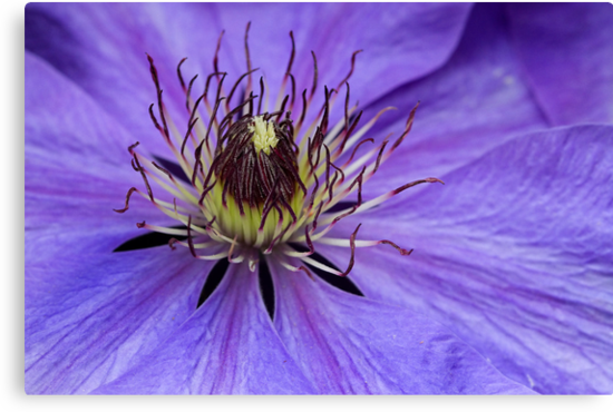 Purple Clematis by Robyn Carter
