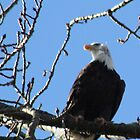 Bald Eagle by cielleigh