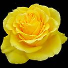 Yellow Rose on Black Background by taiche
