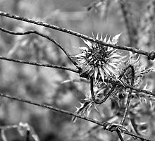 Wire Stem Thistle by Simon Pattinson