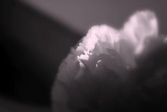 Soft Carnation Dreams by Lozzar Flowers & Art