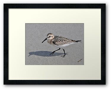 Black Bellied Plover by Kathy Baccari
