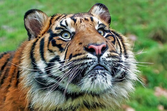 Tiger Portrait by Mark Hughes