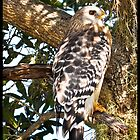 Florida Wild Hawk by Brian L. Giddings of Emotions Photography Inc.