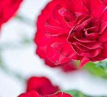 Red Carnations by Carolyn Clark