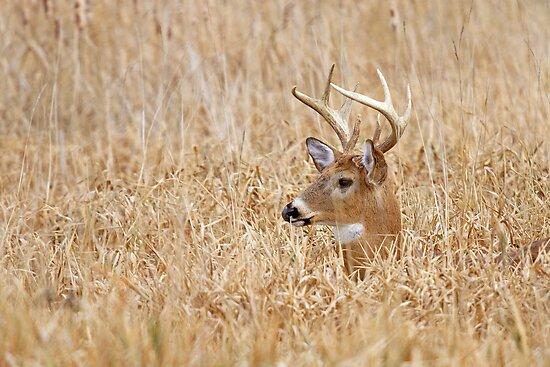 Marsh Buck by Jim Cumming