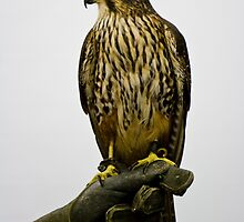 New Zealand Falcon by Heike Richter