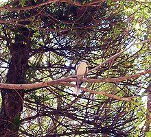 Kookaburra - 18 11 12 by Robert Phillips