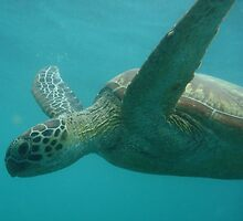Green Turtle (Chelonia mydas) - Low Island, Queensland by Dan & Emma Monceaux