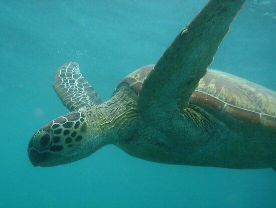 Green Turtle (Chelonia mydas) - Low Island, Queensland by Dan & Emma Monceaux