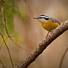 Red-breasted Nuthatch by Jeff Weymier