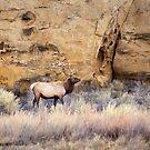 Chaco Wapiti by Kim Barton