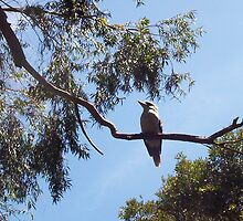 Kookaburra On My Street - Eight - 19 11 12 by Robert Phillips