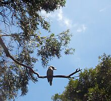 Kookaburra On My Street - Five - 19 11 12 by Robert Phillips