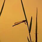 Ginger fly by kurrawinya