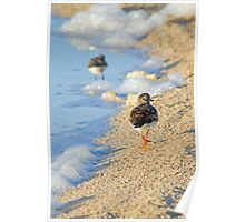 Turnstone strolling on the beach Poster