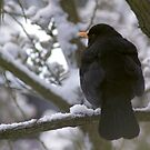 Blackbird in Snow by Steve Hammond