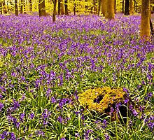 Bluebells Wood 11 by lc-photo