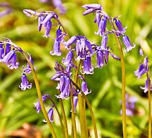 Bluebells Wood 13 by lc-photo