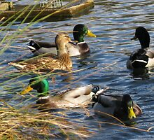 Ducks At Mangerton Mill, Dorset UK by lynn carter