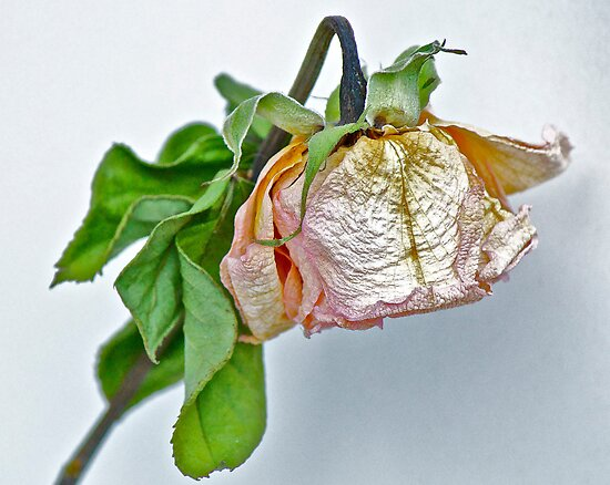 One Dried Rose by Carolyn Clark