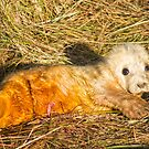 New Born Seal Pup by cameraimagery