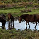 Three Dartmoor Ponies At Watering Hole Late Summer 2011 by richard wolfe