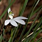 Caladenia catenata (Lady's Fingers orchid) by Robert Elliott