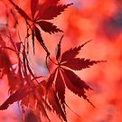 Japanese Red Maple 2 by LudaNayvelt